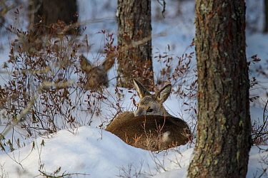 Roe deer (Capreolus capreolus) two sleeping in snow in a pine forest in Alam-Pedja Nature Reserve, Tartumaa county, Southern Estonia. January.