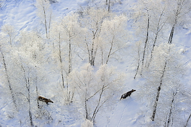 Aerial view of two moose (Alces alces) walking in a snowy forest in Alam-Pedja Nature Reserve, Tartumaa county, Southern Estonia.