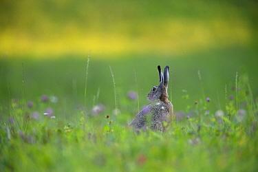 European hare (Lepus europaeus) alert in a summer meadow, Karula National Park, Southern Estonia.
