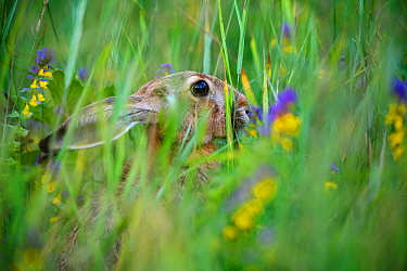 European hare (Lepus europaeus) feeding amongst tall grass, Karula National Park, Valgamaa county, Southern Estonia.