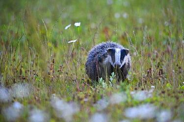 Badger (meles meles) after rainfall, Karula National Park, Valgamaa county, Southern Estonia.