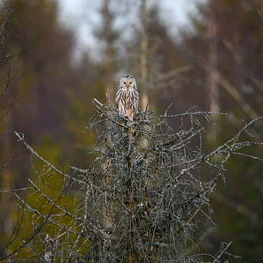 Ural owl (Strix uralensis) on top of a dead spruce tree, Tartumaa county;Southern Estonia. November.
