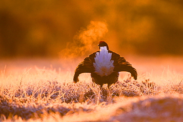 Black grouse (Tetrao tetrix) on lekking site on a cold and frosty morning, V�rumaa county, Estonia.