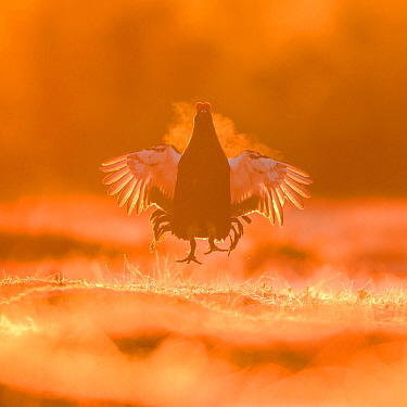 Black grouse (Tetrao tetrix) male jumping in a lekking site at dawn. Varumaa county, Southern Estonia. April.
