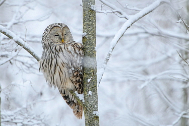 Ural owl (Strix uralensis) perched on an aspen tree in snowy scenery, Tartumaa county, Southern Estonia. November.