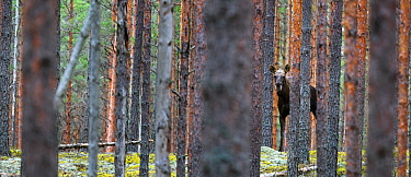 Moose (Alces alces) in pine forest in Koiva-Mustjae Nature Reserve, Valgamaa County, Southern Estonia. April.