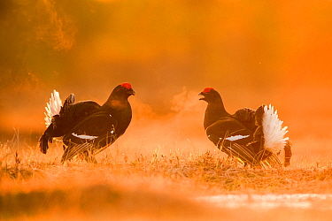 Black Grouse (Tetrao tetrix) two males facing off on a lekking site, Varumaa county, Southern Estonia. April.