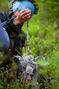 Ornithologist weighing a Ural owl chick (Strix uralensis) during a ringing expedition, Tartumaa county, Southern Estonia. May 2019.