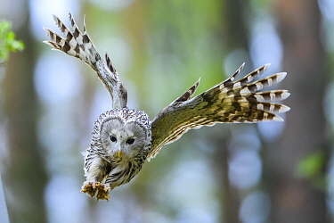 Ural Owl (strix uralensis) female with talons ready to attack a ringing ornithologist, Tartumaa county, Southern Estonia. May.