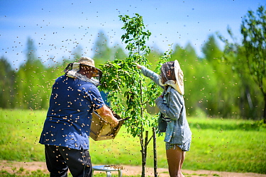 Grandfather with his granddaughter collecting swarm of honeybees, Valgamaa county, Southern Estonia. June.