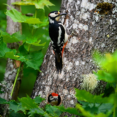 Great-spotted woodpecker (dendrocopos major) at nest with a grown chick looking out of hole in tree, Tartumaa county, Southern Estonia. June 2019.
