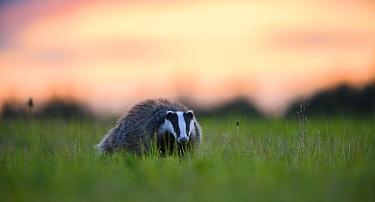 Badger (Meles meles) at sunset, Karula National Park, Southern Estonia. July.
