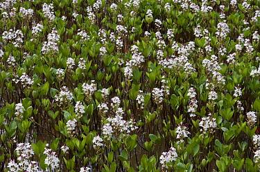 Bogbean (Menyanthes trifoliata),  Burgh Heath pond, Surrey, England, April.