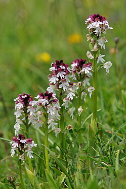 Burnt orchids (Neotinea ustulata) Mount Caburn National Nature Reserve, near Lewes, Sussex, England, June. Endangered.