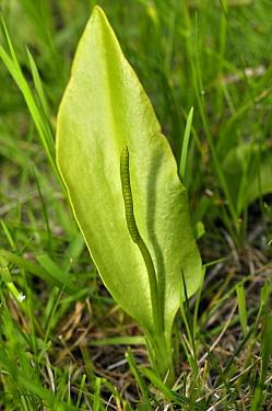 Adder's-tongue (Ophioglossum vulgatum),  Gatton Park, Surrey, England, May.