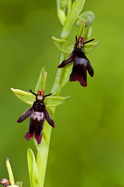 Fly Orchid (Ophrys insectifera), locally rare plant, Fames Rough (SWT Nature Reserve), Chipstead Downs SSSI, Surrey, England, May. Vulnerable.