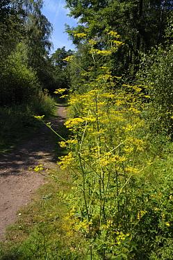 Wild parsnip (Pastinaca sativa) Witley Common,, Surrey, England, July.