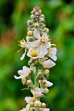 White Mullein (Verbascum lychnitis), Riddlesdown, Surrey, England, July.