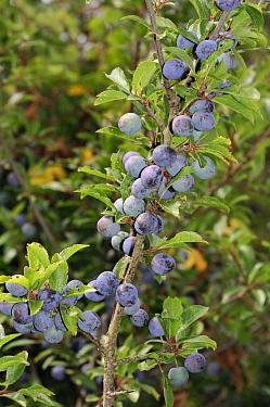 Blackthorn (Prunus spinosa) fruit / berries, Kent, England, August.