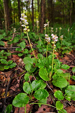 Common wintergreen (Pyrola minor), flowers and developing fruits. Locally rare plant. Elstead Common, Surrey, England, July.
