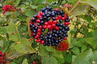 Wayfaring-tree (Viburnum lantana), berries Juniper Top, Box Hill, Surrey, England, August.