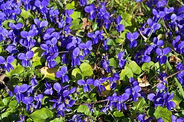 Sweet violets (Viola odorata), Riddlesdown, Surrey, England, February.