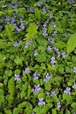 Early dog-violet (Viola reichenbachiana) Sanderstead, Surrey, England, April.