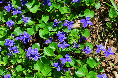 Common dog-violets (Viola riviniana) Selsdon Wood Nature Reserve, Surrey, England, April.