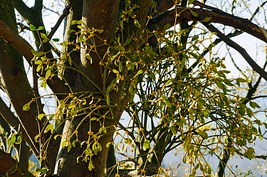 Mistletoe (Viscum album) with flowers. Box Hill, Surrey, England, February.