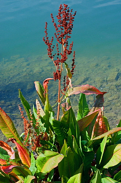 Water dock (Rumex hydrolapathum),  Canada Water, Rotherhithe, Surrey, England, August.