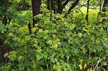 Alexanders (Smyrnium olusatrum), growing on roadside verge. locally rare plant. Betchworth, Surrey, England, June.