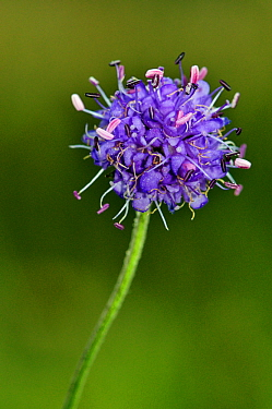 Devil's-bit scabious (Succisa pratensis) Bealeswood Common, Surrey, England, September.