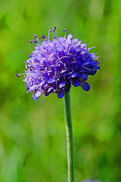 Devil's-bit scabious (Succisa pratensis) road verge by Hilltop, Kenley Common, Surrey, England, August.