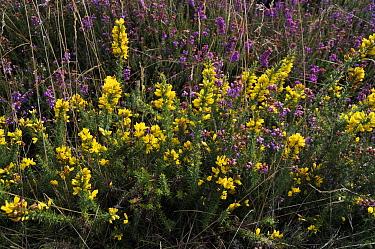 Dwarf gorse (Ulex minor) Henley Park Range, Surrey, England, September.