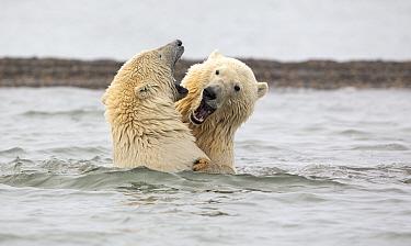 Polar bear (Ursus maritimus) two juvenile siblings play-fighting in the waters of the Beaufort Sea near Kaktovik, Alaska, USA. October.