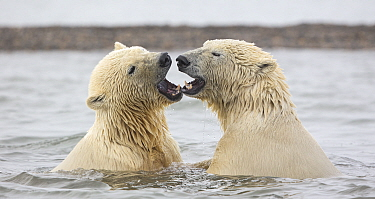 Polar bear (Ursus maritimus) two juvenile siblings with mouths open, after play-fighting in Beaufort Sea, Kaktovik, Alaska, USA. October.
