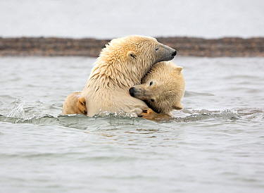 Polar bear (Ursus maritimus) appears to be biting the neck of its sibling, while wrestling in the Beaufort Sea, Kaktovik, Alaska, USA. October.