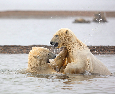 Polar bear (Ursus maritimus) attempts to climb onto its sibling, who has fallen over while play-fighting in the Beaufort Sea, Kaktovik, Alaska, USA. October.