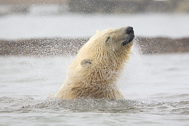 Polar bear (Ursus maritimus) juvenile shakes its head while in the Beaufort Sea, Kaktovik Alaska, USA. October.