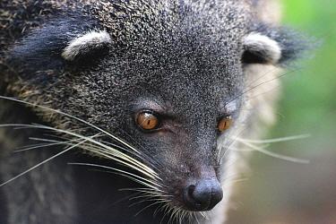 Binturong / Bearcat (Arctictis binturong whitei), Philippines. Vulnerable species.