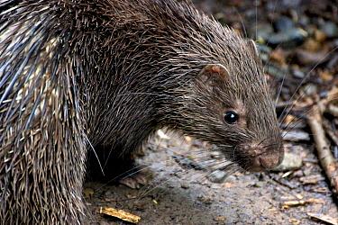 Philippine porcupine (Hystrix pumila), Philippines. Vulnerable species