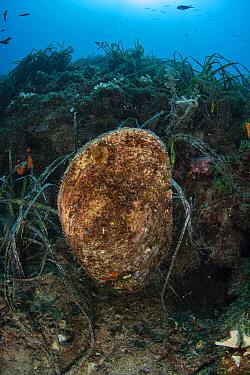 Fan Mussel (Pinna nobilis), National Marine Park of Alonnisos Northern Sporades, Greece. Critically Endangered species.