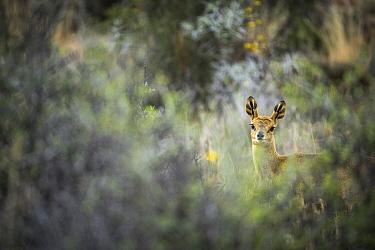 Klipspringer (Oreotragus oreotragus) seen through vegetation, Karoo National Park, Western Cape, South Africa.