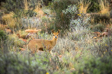 Klipspringer (Oreotragus oreotragus), Karoo National Park, Western Cape, South Africa.