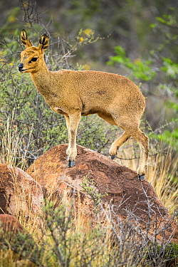 Klipspringer (Oreotragus oreotragus) standing on a rock, Karoo National Park, Western Cape, South Africa.