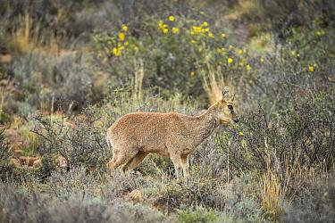 Klipspringer (Oreotragus oreotragus), marking territory with gland located under the eye, rare behavior, Karoo National Park, Western Cape, South Africa.