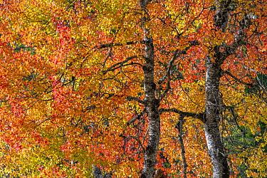 Eurasian aspen tree in autumn (Populus tremula), Dolomites, Italy, October.