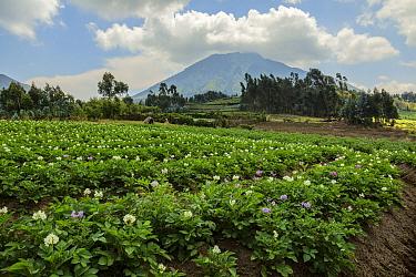 Potato fields around Kinigi, Volcanoes National Park, Rwanda, August