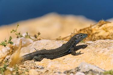 Lilford's wall lizard (Podarcis lilfordi) male sunning near the sea shore, Archipi�lago de Cabrera National Park, Balearic islands, Spain, May