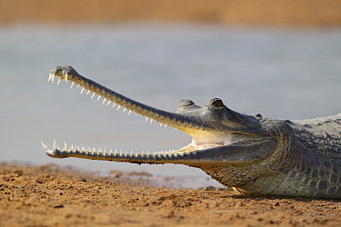 Gharial (Gavialis gangeticus) on the shores of Chambal river, National Chambal Sanctuary, Uttar Pradesh, India. Critically endangered.